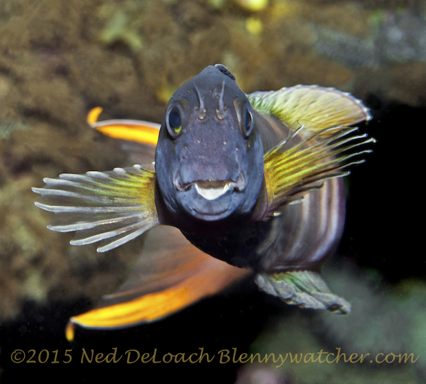 Midas blennies (Ecsenius midas) male - by Ned DeLoach
