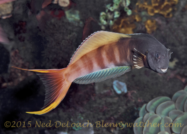 Male Midas Blenny (Ecsenius midas) by Ned DeLoach