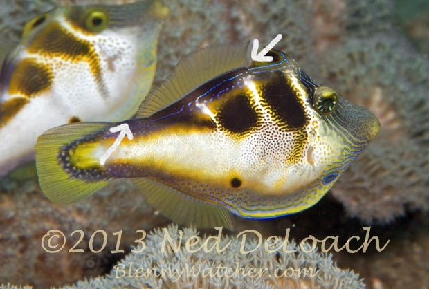 Mimic Filefish Fins annotated Ned DeLoach BlennyWatcher.com