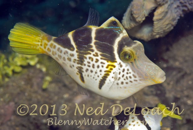 Mimic Filefish Ned DeLoach BlennyWatcher.com