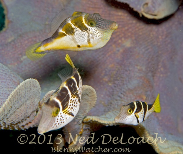 Mimic Filefish and Black Saddled Toby Ned DeLoach BlennyWatcher.com
