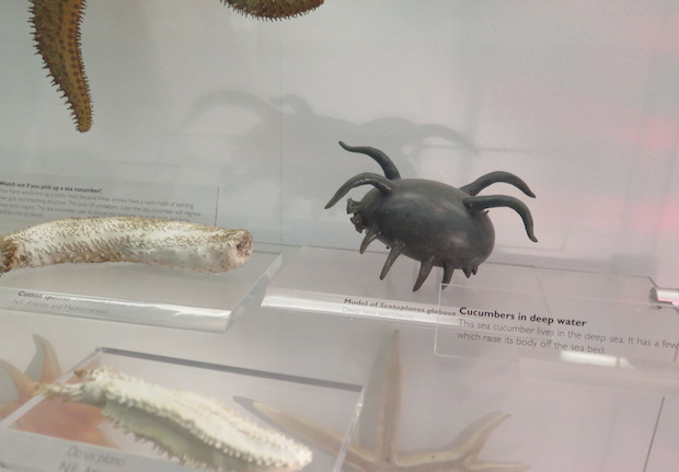 Natural History Museum, London - Model of a sea pig