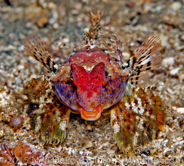 Morrison's Dragonet, Synchiropus morrisoni