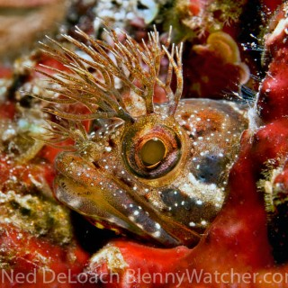 Our Japanese Blenny (Ginpo) Tour