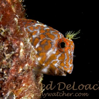 Differences: Orangespotted vs. Tessellated Blenny
