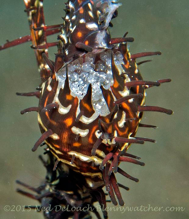 Eggs in pouch of Ornate Ghost Pipefish