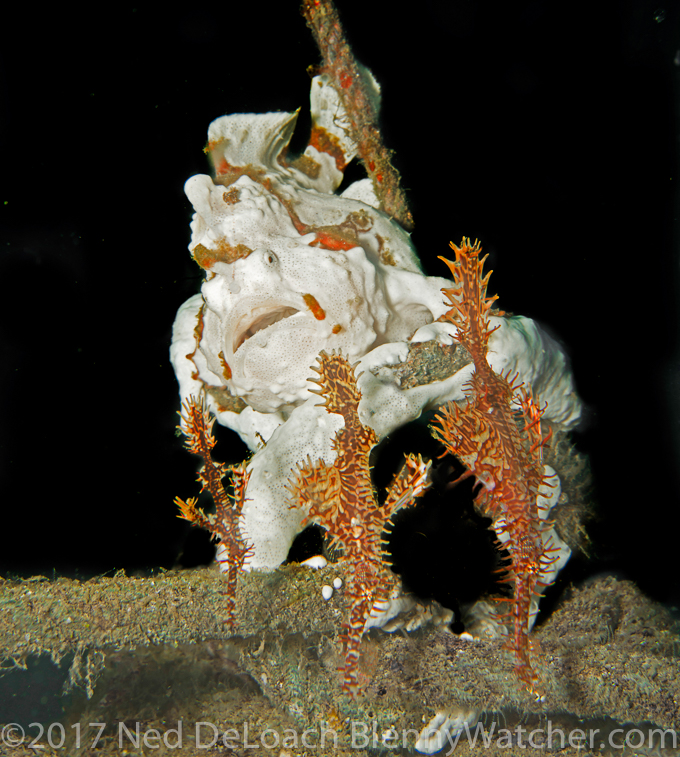 Painted frogfish, Antennarius pictus and Ornate Ghost Pipefish, Revenge of the Frogfish 1