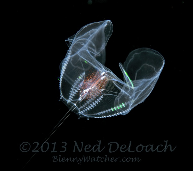 Pelagic Ctenophore at night Ned DeLoach BlennyWatcher.com