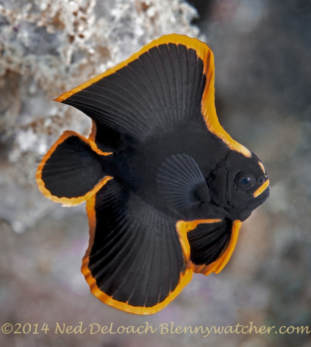 Pinnate Batfish Alor Indonesia by Ned DeLoach