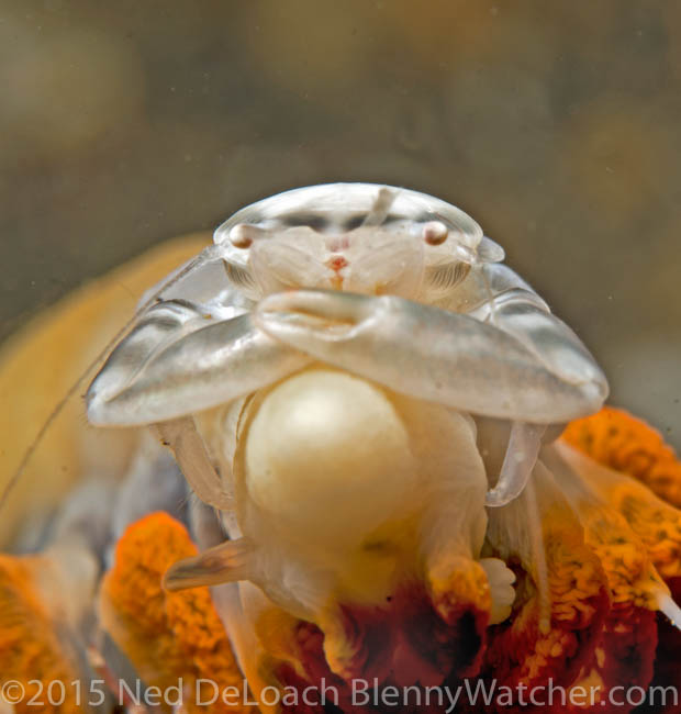 Porcelain crab on a sea pen