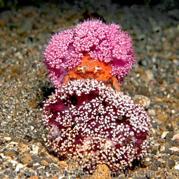 Redspot Sponge Crab, Lewindromia unidentata