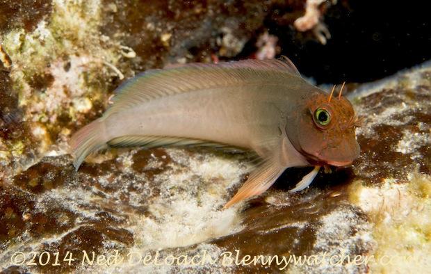 Redlip Blenny, Ophioblennius atlanticus