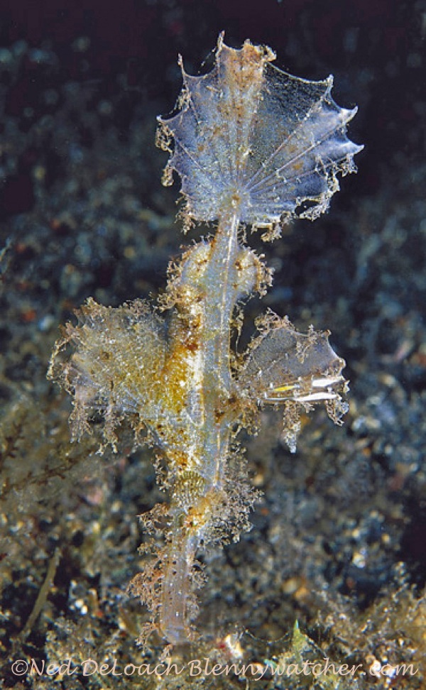 Roughsnout Ghost Pipefish Ned DeLoach BlennyWatcher.com