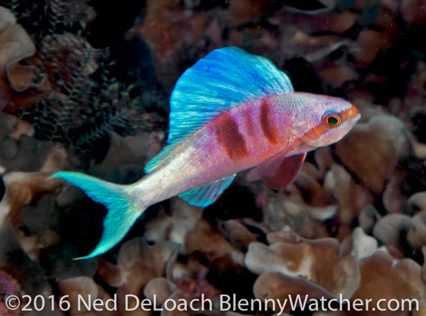 Sailfin Anthias Triton Bay Ned DeLoach