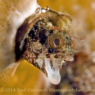The Real Secretary Blenny