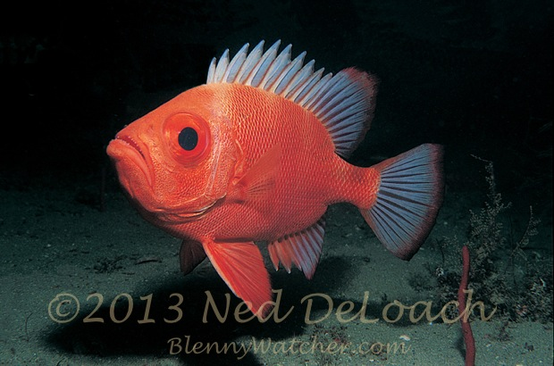 Short Bigeye Ned DeLoach BlennyWatcher.com