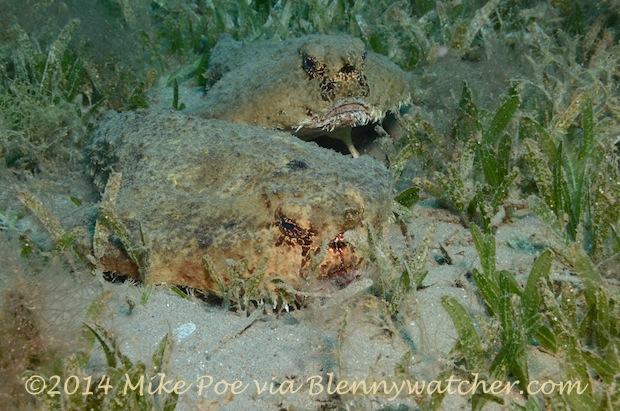 Shortnose Batfish (Ogcocepahlus nasutus) Pair Dominica