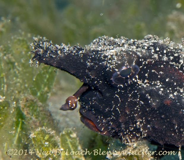 Shortnose Batfish (Ogcocepahlus nasutus) Dominica
