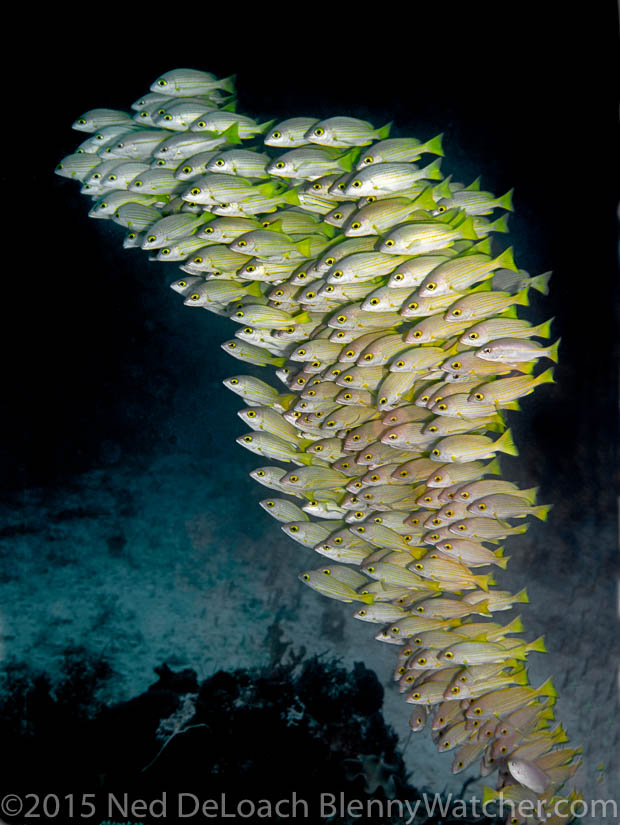 School of snappers off Gam Island, Indonesia