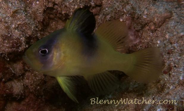 Soapfish juvenile Anna DeLoach Blennywatcher.com
