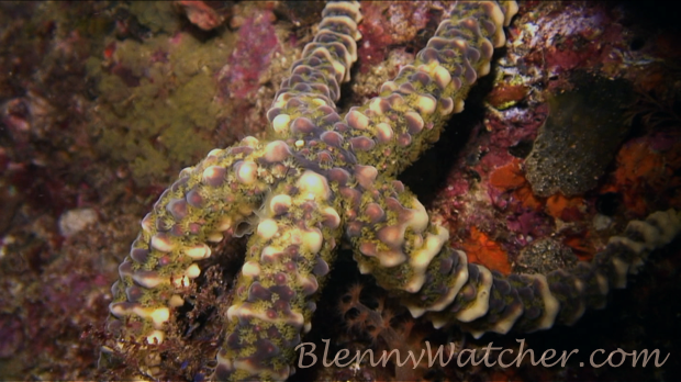 Spawning echinoderm: Warty Sea Star