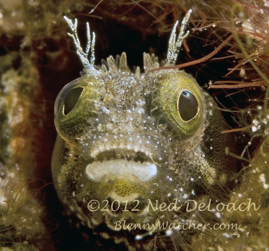 Spinyhead Blenny Portrait Ned DeLoach Blennywatcher.com