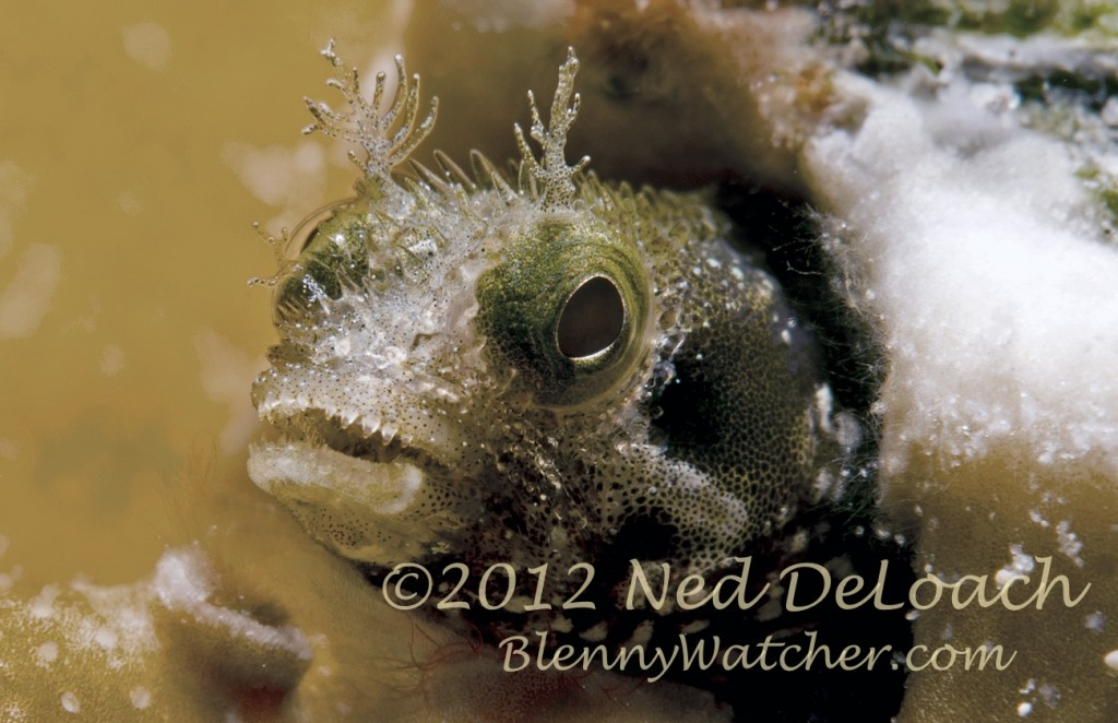 Spinyhead Blenny Ned DeLoach BlennyWatcher.com