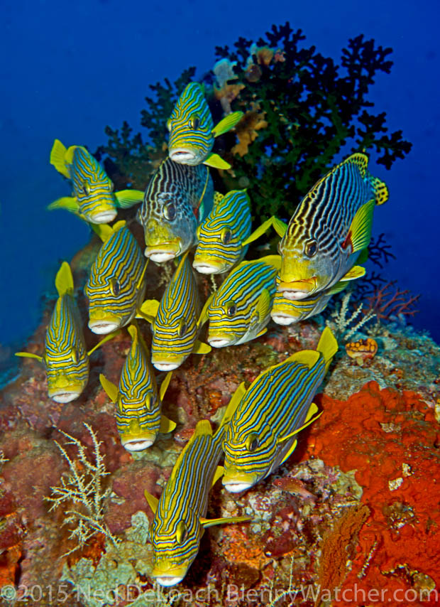 Sweetlips on Cape Kri