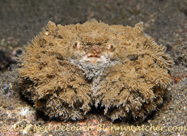 Teddy Bear Crab off Alor Indonesia by Ned DeLoach
