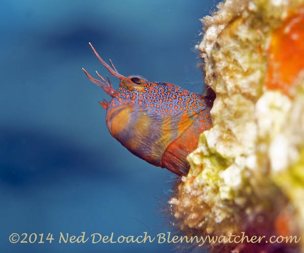 Tessellated Blenny's colorful neck by Ned DeLoach