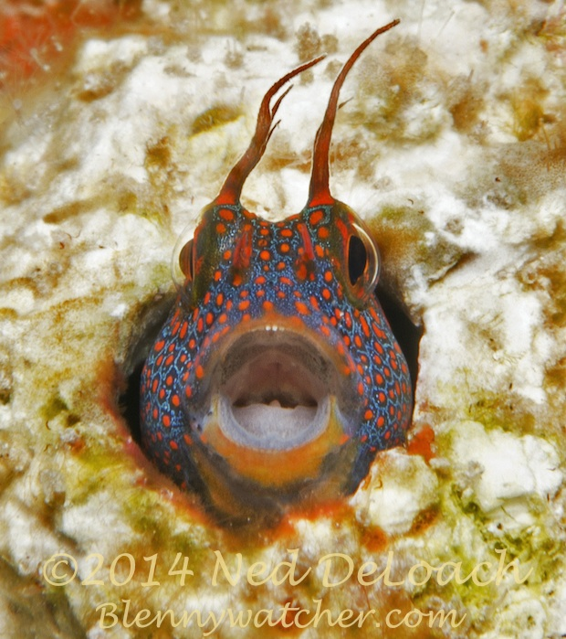 The Laughing Blenny by Ned DeLoach