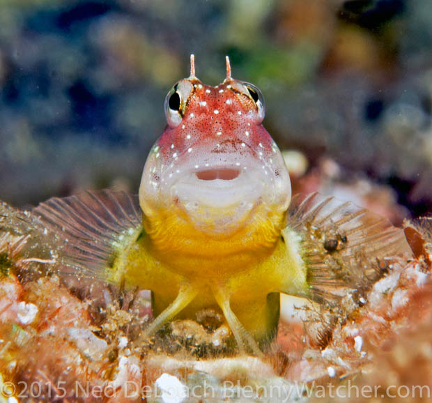 Throatspot Blenny, Nannosalarias nativitatus head close-up