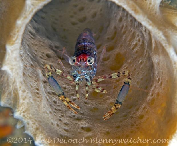 Brachycarpus biunguiculatus Twoclaw shrimp Ned DeLoach