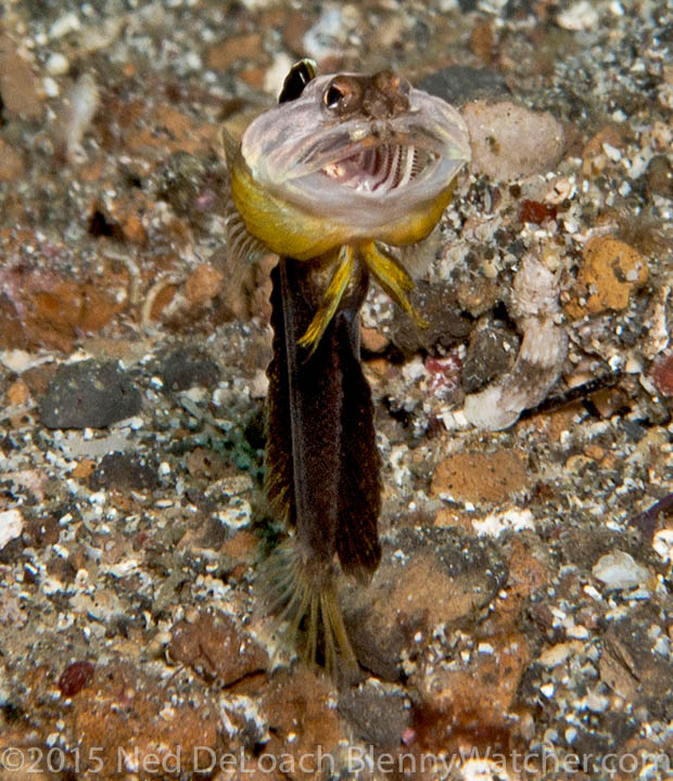 Undescribed jawfish in Lembeh Strait