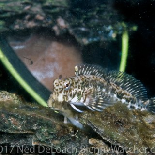 The Reluctant Blenny Hunters