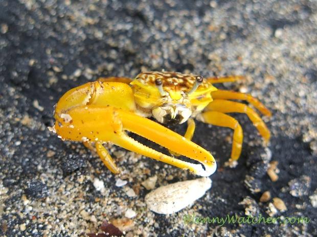 Yellow Fiddler Crab at Beqa Island, Fiji