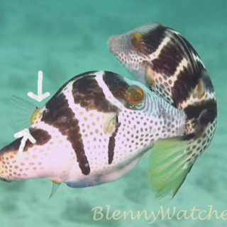 Mimicry: The Filefish and the Puffer