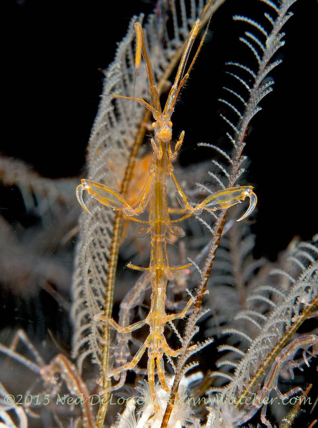 yellow Skeleton shrimp in Dumaguete, Philippines