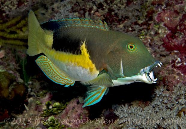 Anchor Tuskfish, Choerodon anchorago, Ned DeLoach, Blennywatcher.com