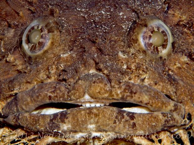 Large-eye Toadfish Batrachoides gilberti Ned DeLoach Blennywatcher.com