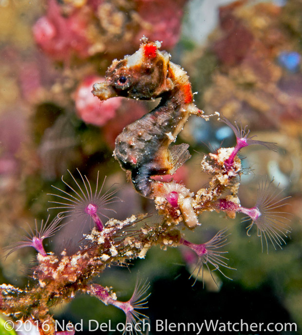 Pontoh's Pygmy Seahorse - dark variation