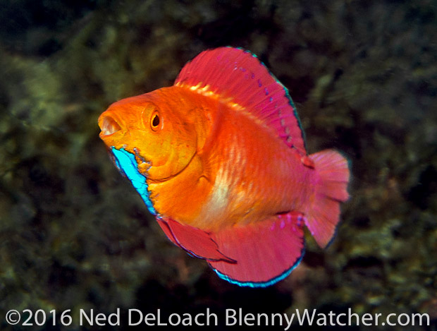 Anilao Portfolio: Redfin Fairy Wrasse, Cirrhilabrus rubripinnis