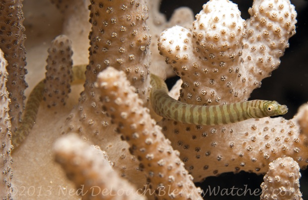 Soft-coral Pipefish, Siokunichthys breviceps, Ned DeLoach BlennyWatcher.com