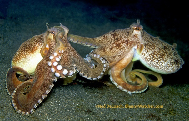 Coconut Octopus shot in Lembeh Strait, Indonesia