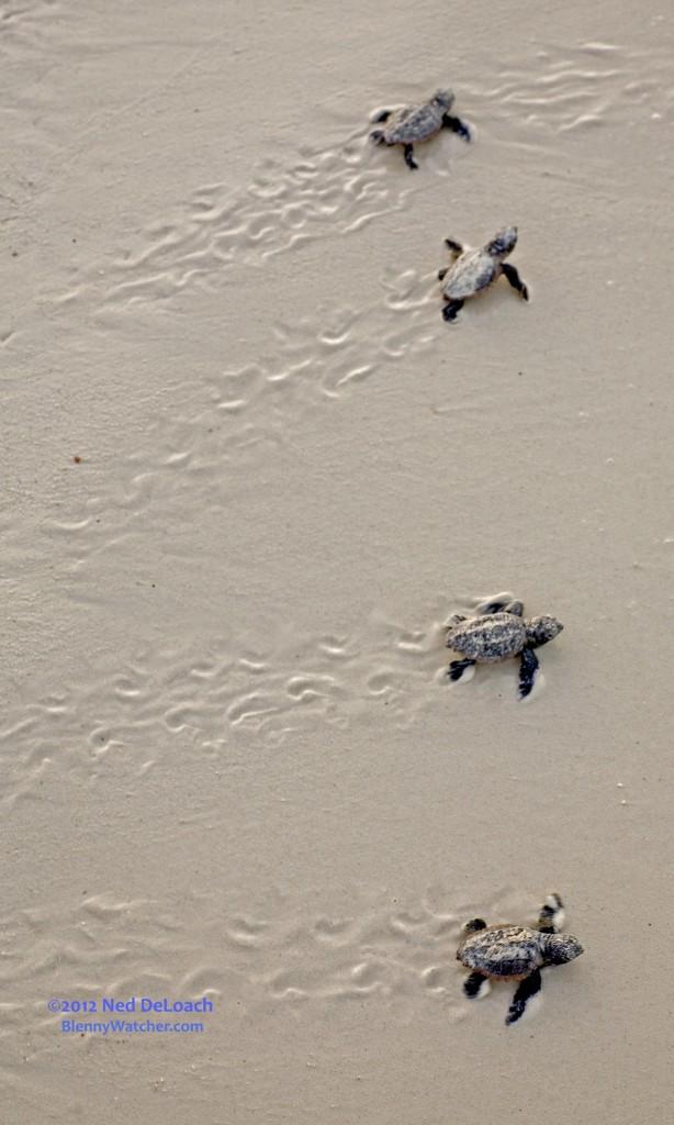 Newly hatched Loggerhead Turtles