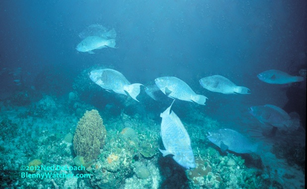 Midnight Parrotfish gather at dusk