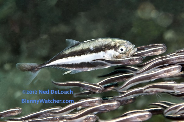 Striped Catfish, Plotosus lineatus, Bluespotted Trevally, Caranx bucculentus ©2012 Ned DeLoach