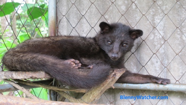 Civet Source of Kopi Luwak