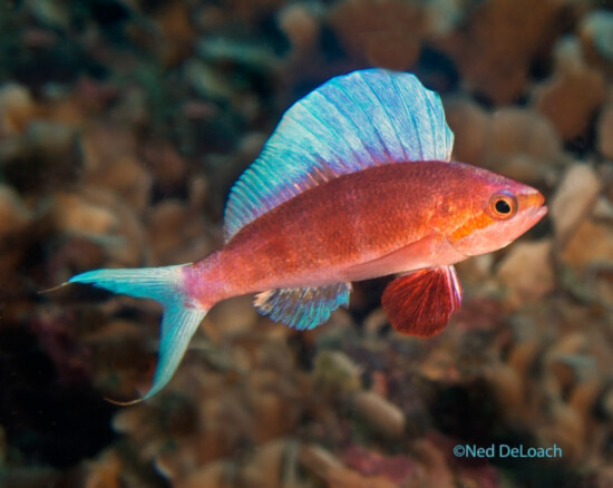 Anna DeLoach - BHS Flasher Beach Sailfin Anthias