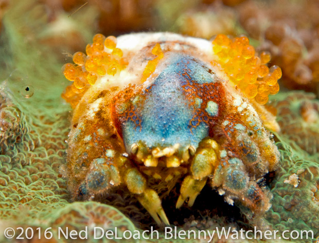Anilao Portfolio: Unidentified Coral Crab with eggs